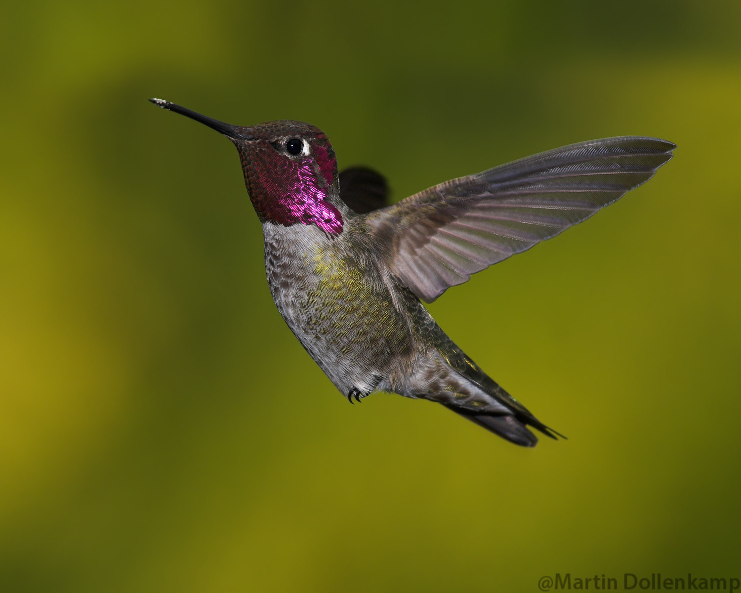 Photographing hummingbirds Anna's example