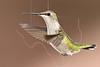 Hummingbird Visits Feeder During Fall 2011 Migration,<br /> Backyard - Sugar Land, TX
