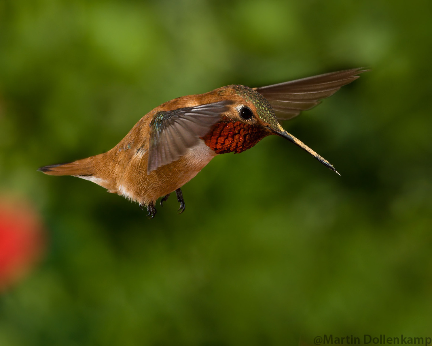 Flash stops wing motion on this Rufous Hummingbidrd