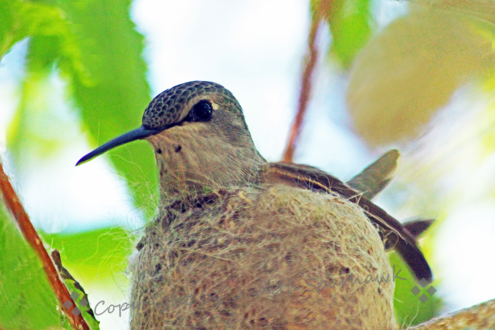 Nesting Costa's Hummingbird ~ This mother-to-be sat on the nest patiently, despite my photographing her.  I hope she has two little baby-hummers soon.