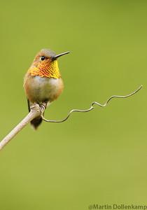 Rufous Hummingbird perched guarding his territory