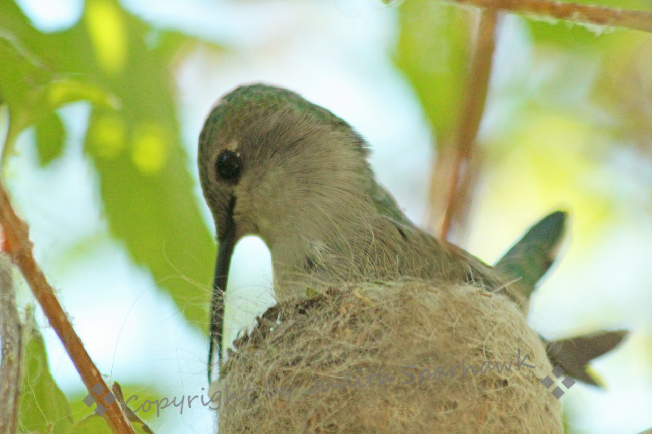 Costa's Hummingbird Tending Her Nest ~ While sitting on her two eggs, she was arranging and rearranging the very fine hair and cobwebs that form her nest.