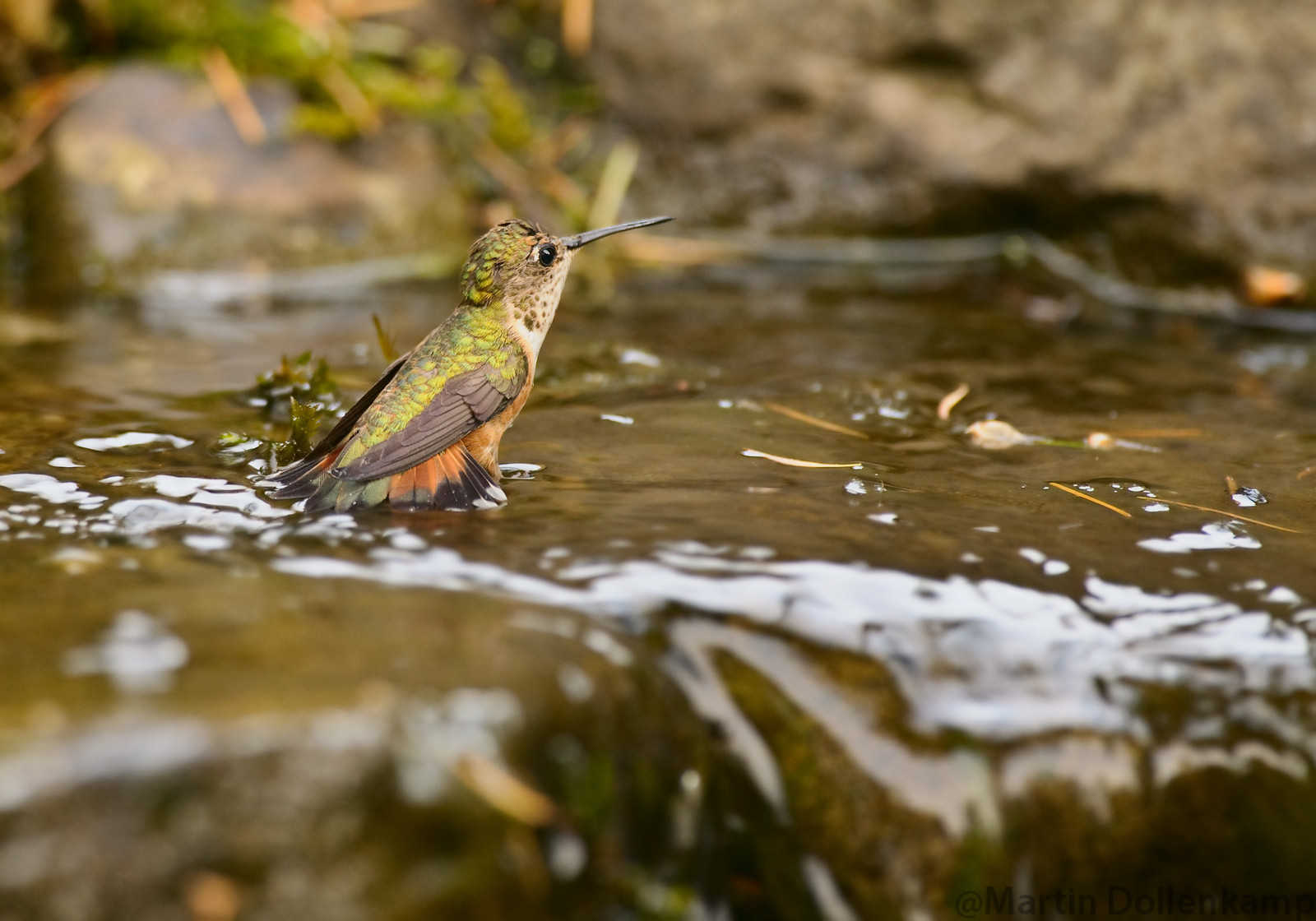 Hummingbird Photography Rufous bathing in waterfall.