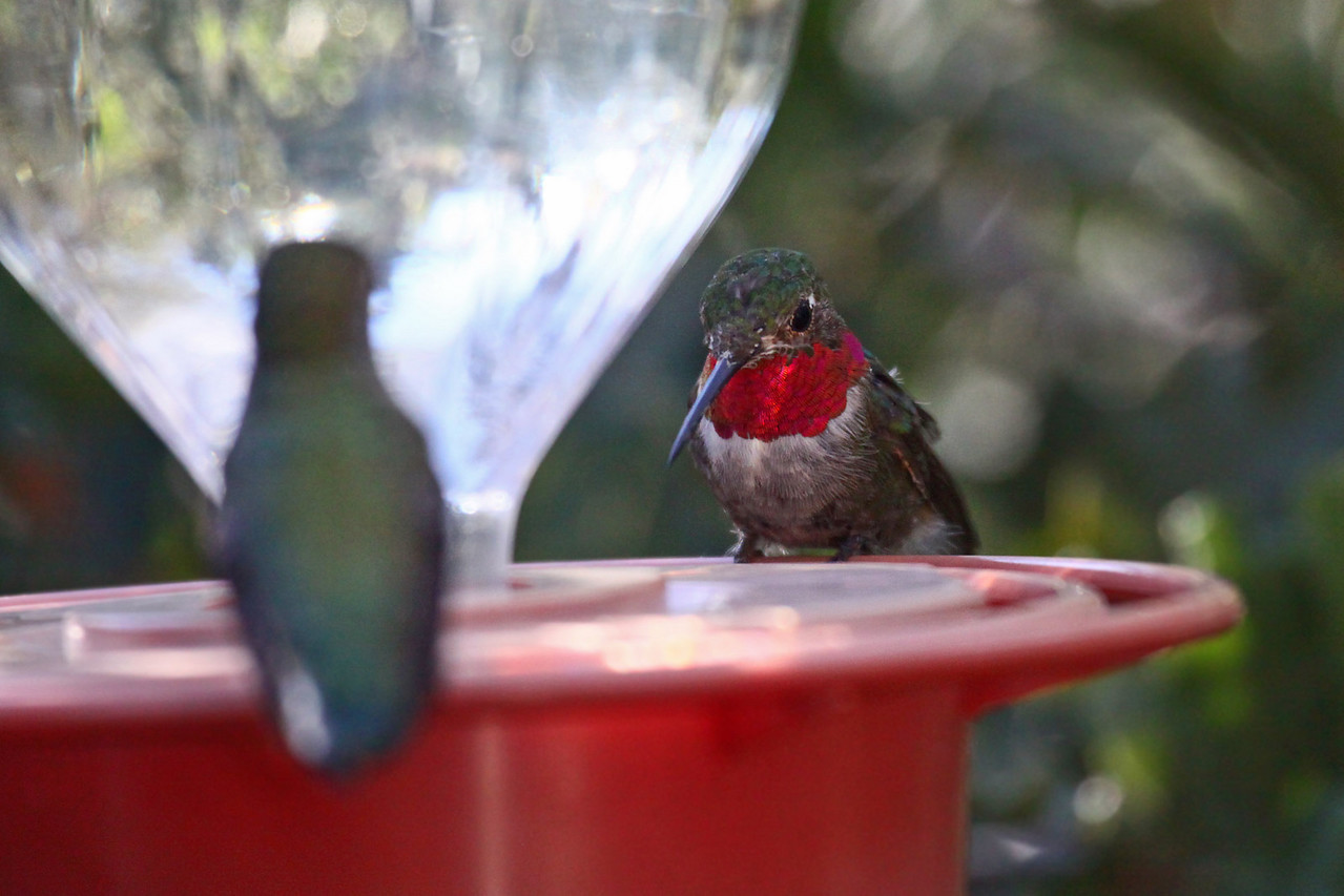 Broad-tailed Hummingbird (M) - Arizona