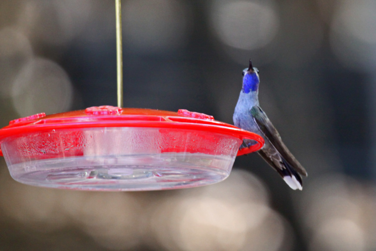 Blue-throated Hummingbird (M) - Arizona