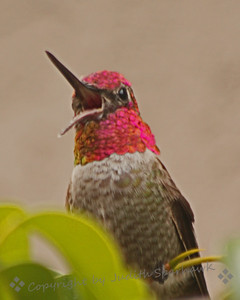 Open Wide ~ About 5 minutes before getting this shot, I was watching a documentary about hummingbirds.  It showed how they open their mouths wide like this when catching small insects in flight.  I said that I had never seen the bill open so wide; moments later, this is what I saw!  This is a male Anna's Hummingbird.