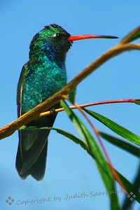 "Broad-Billed Hummingbird ~  Published in December/January 2010 National Wildlife, magazine of the National Wildlife Federation; ""The Hummingbirds of Winter."""