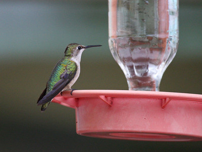 Black-chinned Hummingbird (F) - Texas