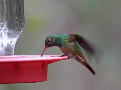 Buff-bellied Hummingbird (M) - Texas