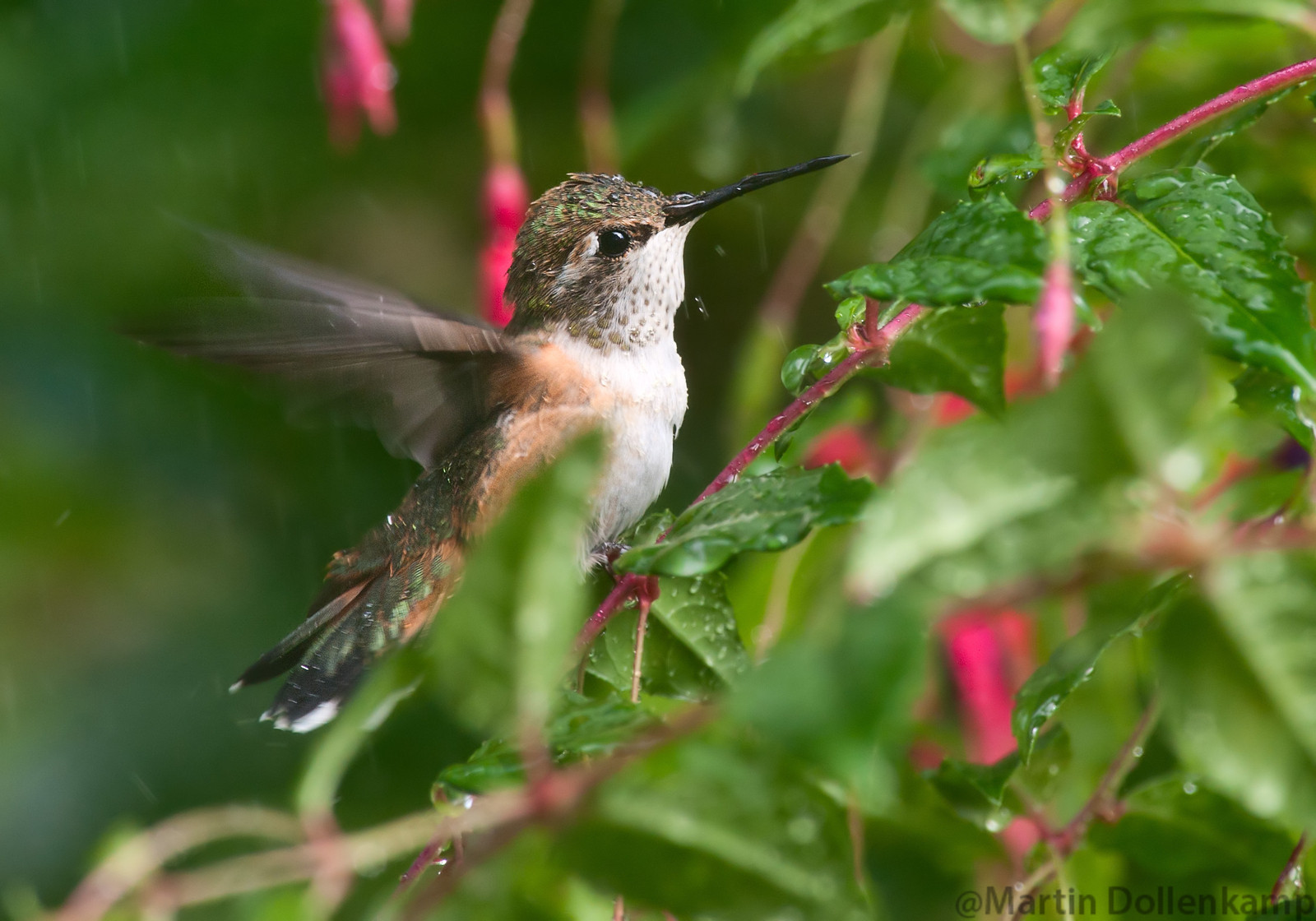 Hummingbird photography set up the hose spray and wait for the to come
