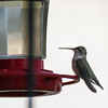 Black-chinned Hummingbird (female)