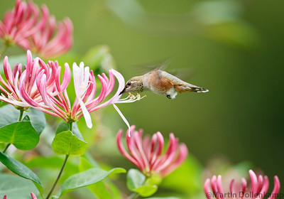 Honeysuckle and a Rufous Hummingbird