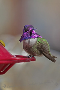 Costa's Hummingbird ~ This beautiful hummer was photographed in Oro Grande, California.