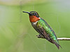 Ruby-throated Hummingbird,<br /> Quintana Neotropical Bird Sanctuary, Freeport, Texas