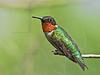 Ruby-throated Hummingbird,<br /> Quintana Neotropical Bird Sanctuary, Freeport, Texas