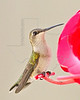 Hummingbird Visits Feeder During Fall 2011 Migration,<br /> Backyard - Sugar Land, TX