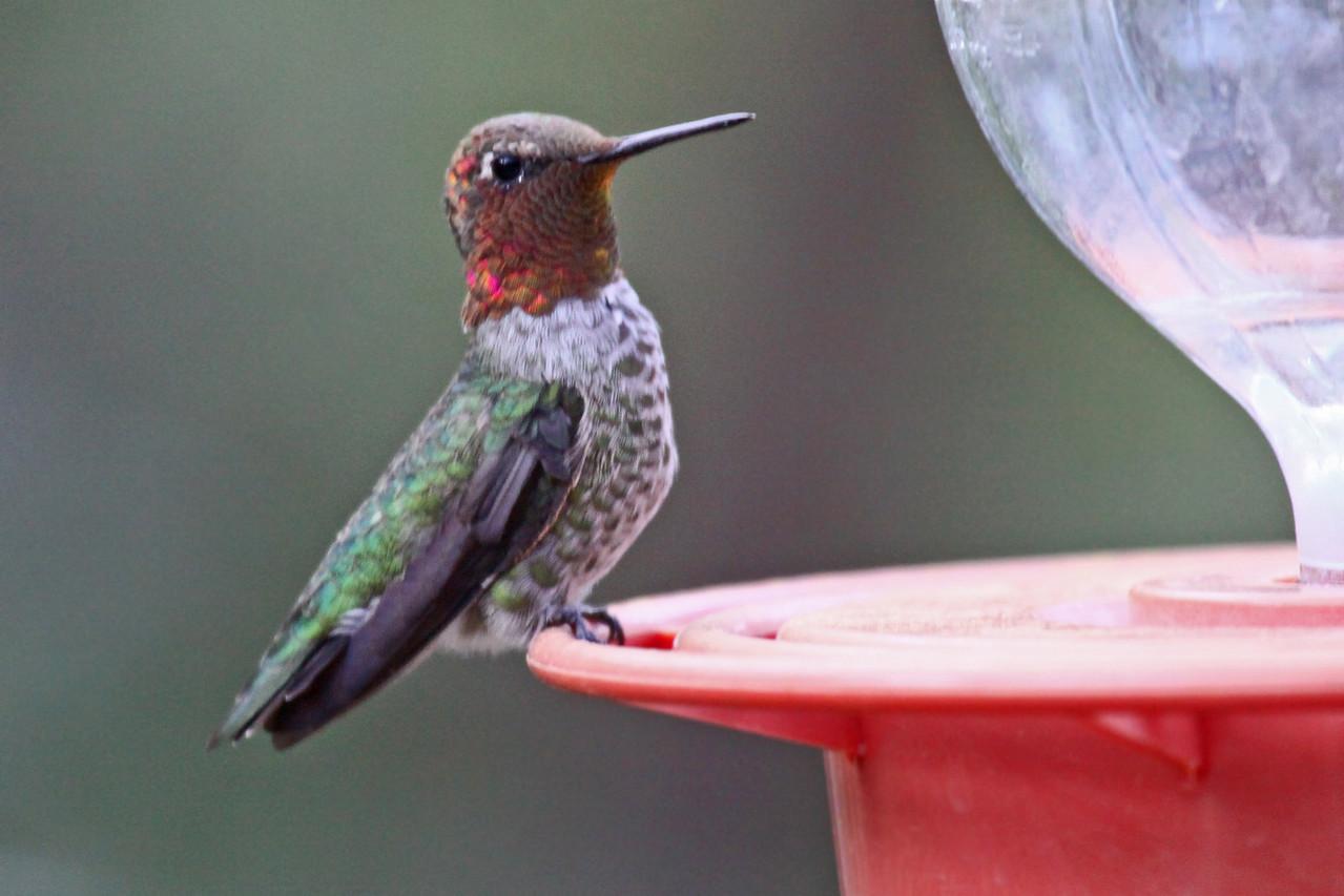 Anna's Hummingbird (M) - Arizona