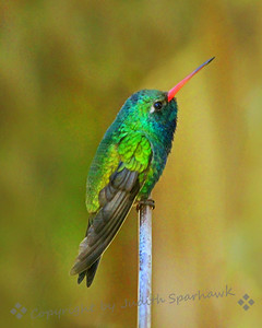 Broad-billed Hummingbird Perched on Top ~ Hummingbirds sometimes like to find a particular perch, and return to it often. They seem to be surveying their world or protecting their favorite feeders.  This male Broad-billed is a beauty with all those irridescent feathers and the bright red bill.