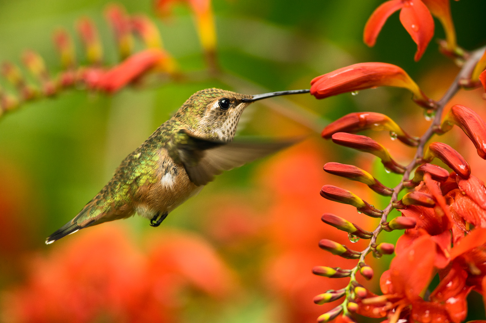 Hummingbird natural light photography