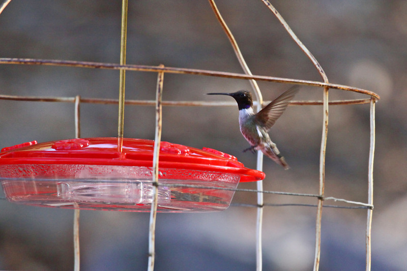 Black-chinned Hummingbird (M) - Arizona