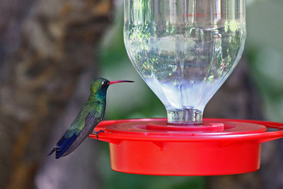 Broad-billed Hummingbird (M) - Arizona