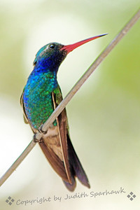 Broad-billed Hummingbird ~ This beautiful hummer was photographed in Madera Canyon, in the Santa Rita Mountains in southeastern Arizona.  It was the most common hummingbird at the feeders in that area this last week.