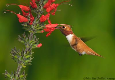 Male Rufous Hummingbird feeding on Salvia exserta