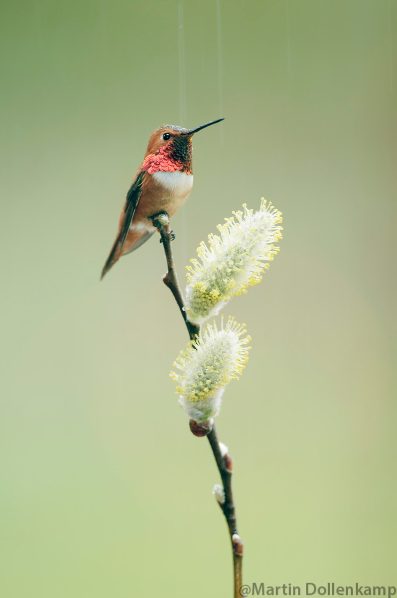 Photographing perched hummingbirds.