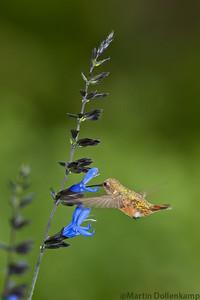 "Rufous Hummingbird hitting the ""Black and Blue"""