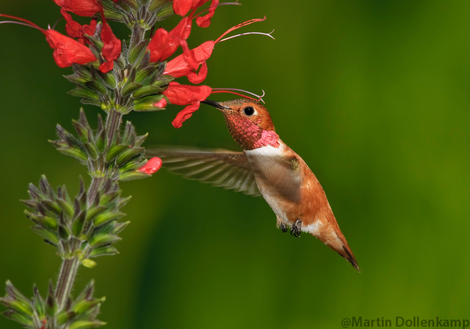 Hummingbird photography catching Rufous at flower