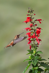 """Rufous Hummingbird hitting the """"Lady in Red"""""""