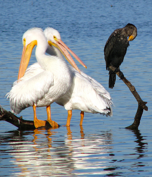 A pair of American white pelicans (Pelecanus erythrorhynchos) and a double-crested cormorant (Phalacrocorax auritus) preening after their morning baths