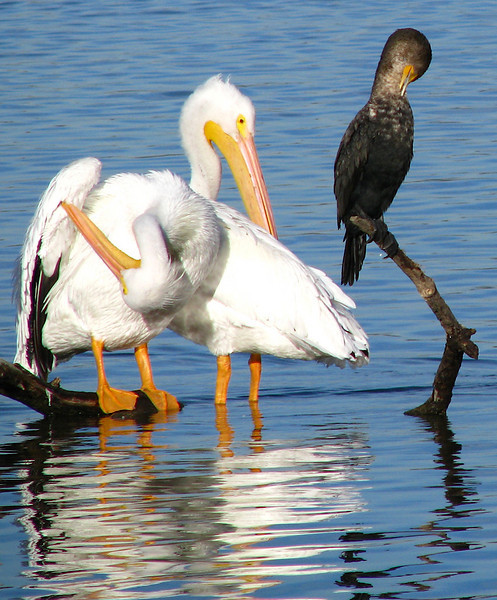 Two American white pelicans (Pelecanus erythrorhynchos) and a double-crested cormorant (Phalacrocorax auritus) perched on a submerged branch and preening in morning sunlight (IMG_0091)