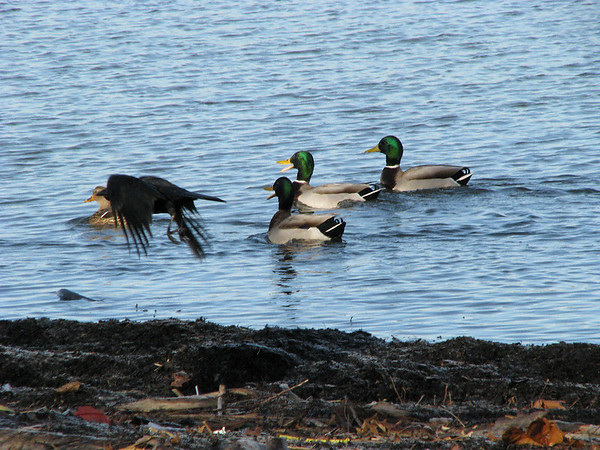 Three mallard duck (Anas platyrhynchos) males chasing a lone female as a common raven (Corvus corax) flies through the scene