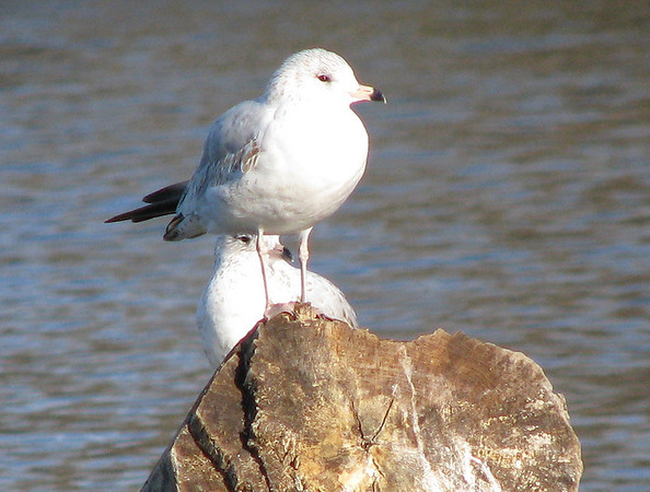 A pair of juvenile ring-billed gulls (Larus delawarensis) standing on a submerged tree stump (IMG_0111)
