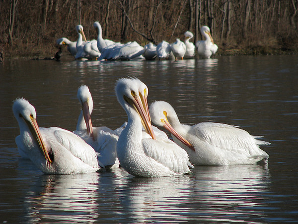 More American white pelicans (Pelecanus erythrorhynchos) preening in the morning sun