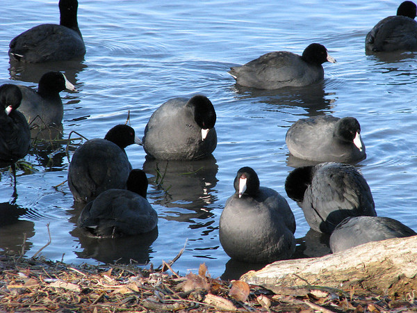 A covert of American coots (Fulica americana) milling about in the shallows near the shore of Sunset Bay (IMG_0139)