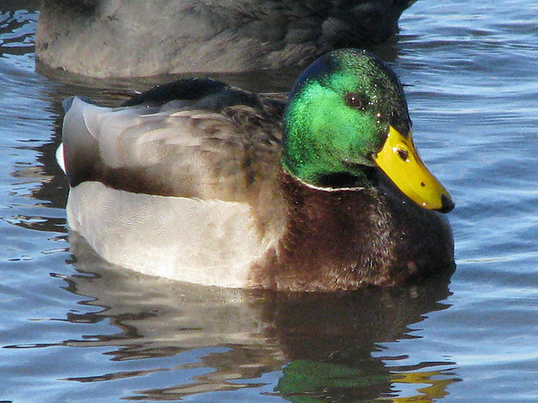 A closeup of a male mallard duck (Anas platyrhynchos) floating near shore