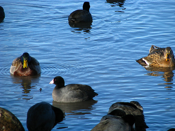 A mated pair of mallard ducks (Anas platyrhynchos) bathe near shore as American coots (Fulica americana) dawdle about