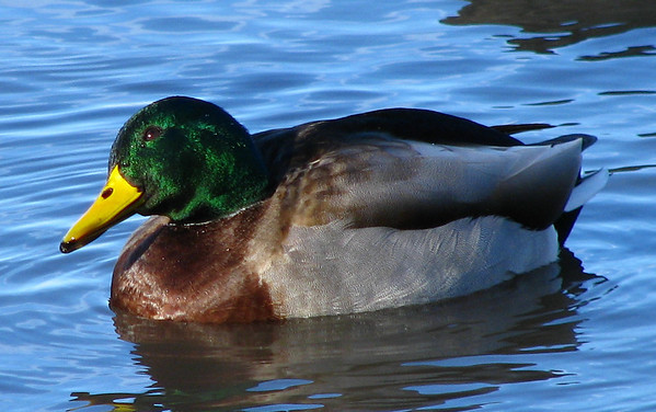A closeup of a male mallard duck (Anas platyrhynchos) floating near shore as he cocks his head and looks up