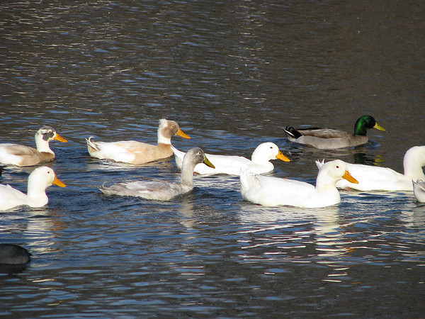 A veritable flotilla of ducks swimming upstream from the lake, including two male, one female, and one unidentified pekin ducks (a.k.a. domestic ducks, white pekin ducks, or Long Island ducks; Anas domesticus), a male mallard (Anas platyrhynchos), two male Indian runners (Anas platyrhynchos), and a male crested Indian runner (Anas platyrhynchos) (IMG_0149)