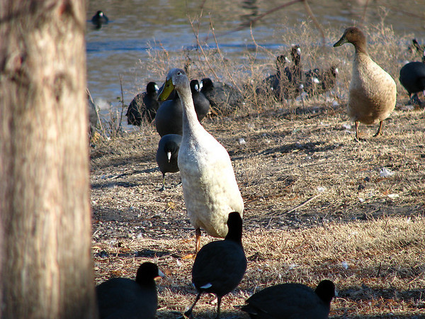 An Indian runner duck (Anas platyrhynchos) walking upright amongs American coots (Fulica americana)