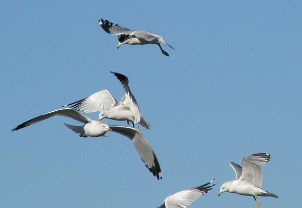 More ring-billed gulls (Larus delawarensis) in flight