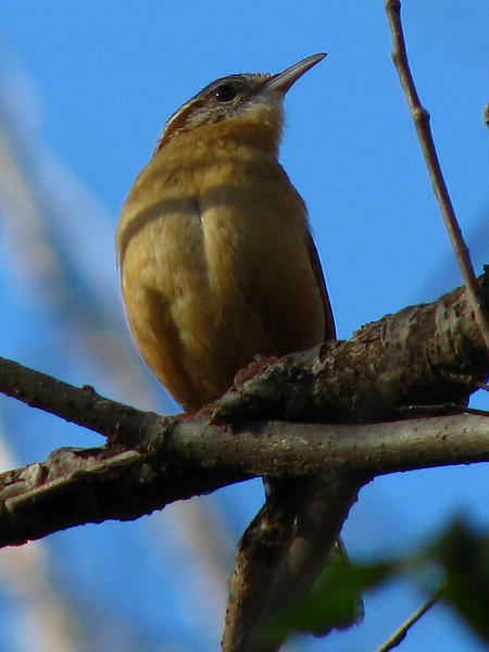 A Carolina wren (Thryothorus ludovicianus) perched on a branch