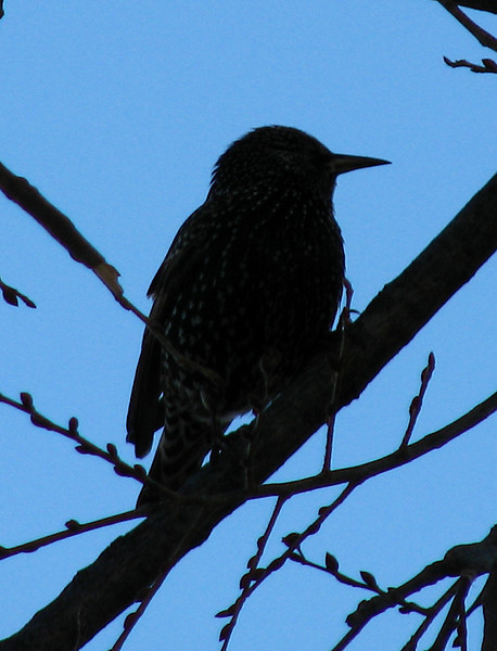 A European starling (Sturnus vulgaris) in silhouette
