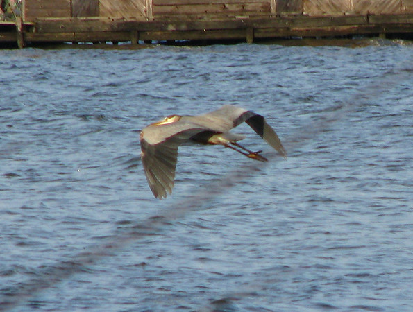 A great blue heron (Ardea herodias) flying low over the waters of White Rock Lake
