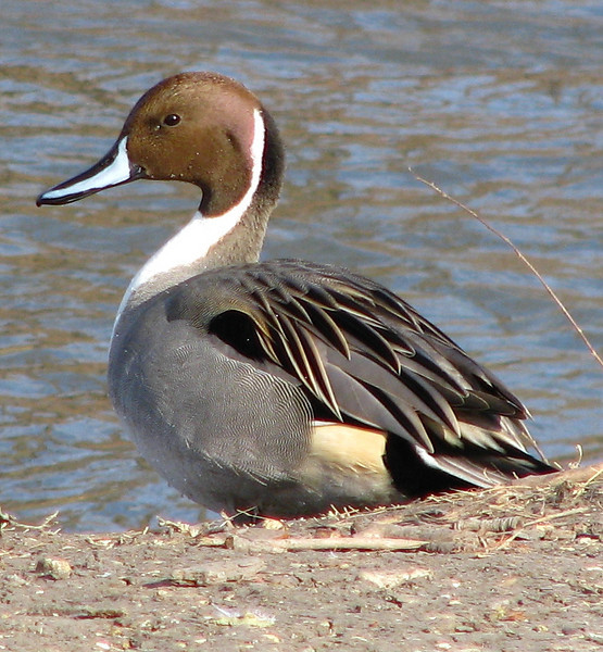 A male northern pintail (Anas acuta) in breeding plumage standing on the lake's shore