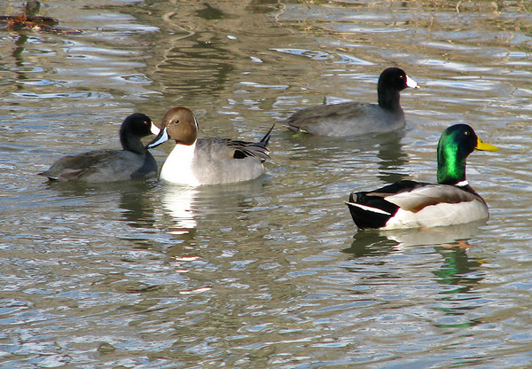 A male northern pintail (Anas acuta) in breeding plumage swimming with a male mallard duck (Anas platyrhynchos) and some American coots (Fulica americana)