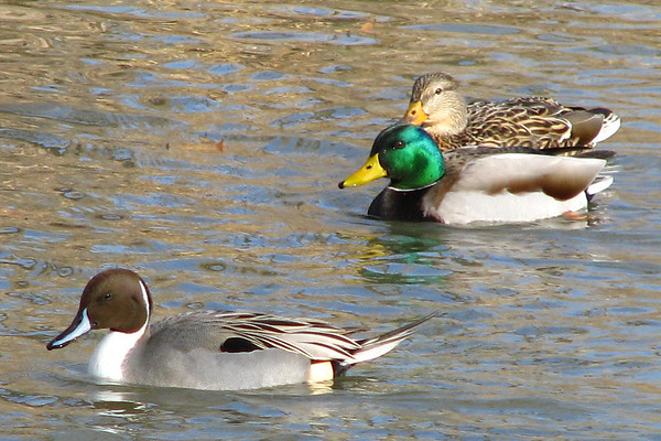 A male northern pintail (Anas acuta) in breeding plumage swimming with a mated pair of mallard ducks (Anas platyrhynchos)