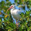 White Ibis<br /> Merritt Island, Florida<br /> 074-0318a